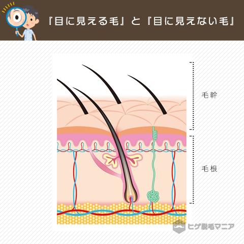 髭も含めて、僕たちの体に生えている毛には『目に見える毛』と『目に見えない毛』があります。